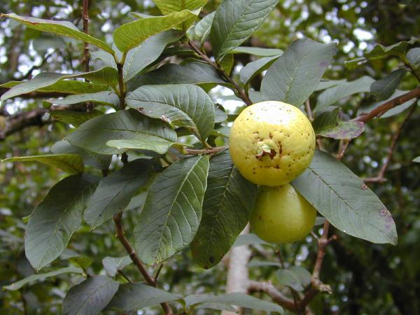 Psidium_guajava_fruit2