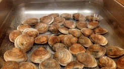 immerse the clams in water for at least 5 hours then clean the shell with a sponge or a brush.